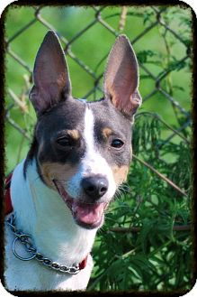 Jack Russell Terrier Mix Dog for adoption in Elyria, Ohio - Styx