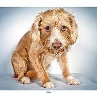 Adopt A Pet :: Terry - New York, NY