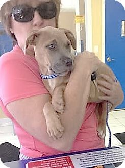 Pit Bull Terrier Mix Puppy for adoption in Jacksonville, Florida - Nala