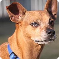 Adopt A Pet :: Joy - Homewood, AL