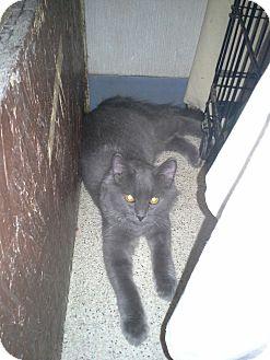 Domestic Longhair Kitten for adoption in West Plains, Missouri - Bo Jangles
