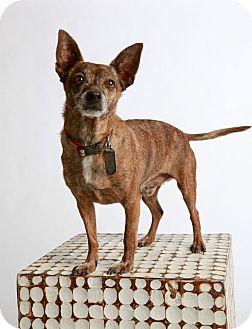 Chihuahua Mix Dog for adoption in Scottsdale, Arizona - Petey-No Adoption Fee!!