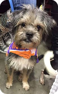 Schnauzer (Miniature)/Shih Tzu Mix Dog for adoption in Anderson, South Carolina - Ben