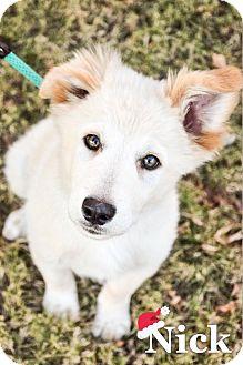 Great Pyrenees/Australian Shepherd Mix Puppy for adoption in DFW, Texas - Nick
