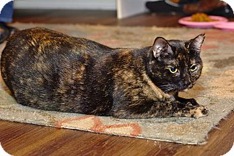 Domestic Shorthair Cat for adoption in Nashville, Tennessee - Maya