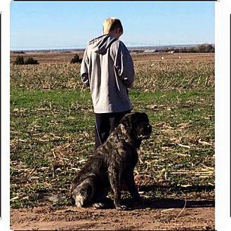Bullmastiff Mix Dog for adoption in Garber, Oklahoma - Bear