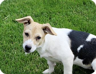 Beagle/Jack Russell Terrier Mix Puppy for adoption in Liberty Center, Ohio - Jenny