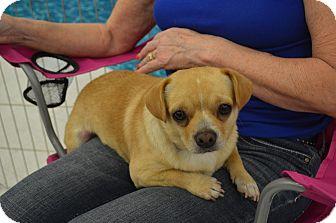 Pug/Chihuahua Mix Dog for adoption in Lodi, California - Max2