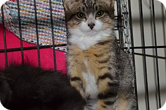 Domestic Shorthair Kitten for adoption in Kelso/Longview, Washington - Navaho