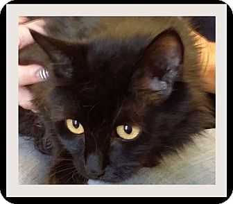 Domestic Shorthair Kitten for adoption in Red Bluff, California - WOOGIE:Low fees, Neutered