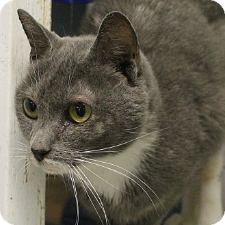 Domestic Shorthair Cat for adoption in Richand, New York - Muffy