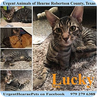 Domestic Shorthair Kitten for adoption in Hearne, Texas - Lucky