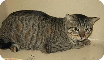 Domestic Shorthair Cat for adoption in Stillwater, Oklahoma - Rocky