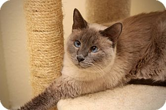 Siamese Cat for adoption in San Antonio, Texas - Connor