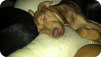 Doberman Pinscher Mix Puppy for adoption in Tacoma, Washington - King