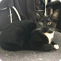 Domestic Shorthair Kitten for adoption in Baltimore, Maryland - Marva
