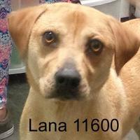 Adopt A Pet :: Lana - Manassas, VA