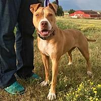 American Staffordshire Terrier/Labrador Retriever Mix Dog for adoption in Denver, Colorado - Amber Mae