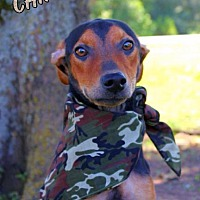 Adopt A Pet :: Chipper - Batesville, AR