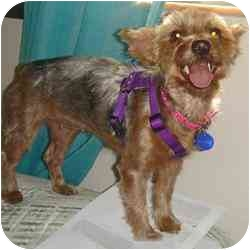 Yorkie, Yorkshire Terrier Mix Puppy for adoption in Ft Myers, Florida - Nellie