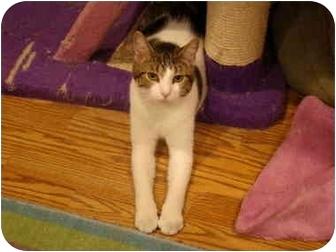 Domestic Shorthair Cat for adoption in Muncie, Indiana - Orin--PETSMART