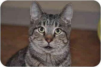 Domestic Shorthair Cat for adoption in Youngwood, Pennsylvania - Silvio