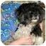 Photo 2 - Shih Tzu Dog for adoption in Marseilles, Illinois - Pops