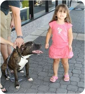 American Pit Bull Terrier Mix Puppy for adoption in Reisterstown, Maryland - Brandon