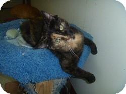 Domestic Shorthair Cat for adoption in Hamburg, New York - Chatty Cathy