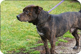 Jack Russell Terrier/Dutch Shepherd Mix Dog for adoption in Metamora, Indiana - Gomez