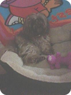 Shih Tzu Mix Dog for adoption in Bellingham, Washington - Mia