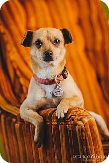 Dachshund/Chihuahua Mix Dog for adoption in Portland, Oregon - Pedro
