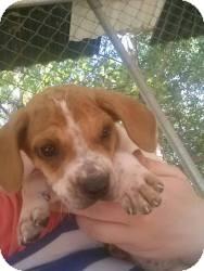German Shorthaired Pointer Mix Puppy for adoption in Westfield, Massachusetts - Heidi
