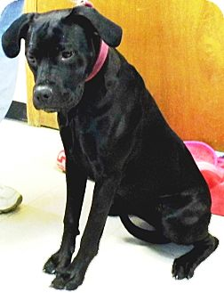 Dogue de Bordeaux/Catahoula Leopard Dog Mix Dog for adoption in Washington Court House, Ohio - Gabby