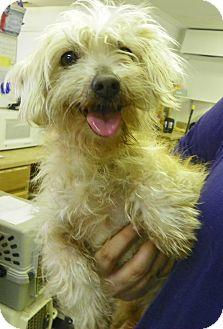 Maltese/Poodle (Miniature) Mix Dog for adoption in Waldorf, Maryland - Ivy