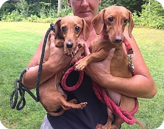 Dachshund Mix Dog for adoption in Wethersfield, Connecticut - Addy (Adoption Pending)