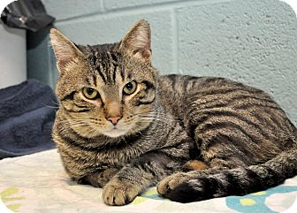 Domestic Shorthair Cat for adoption in Wilmington, Delaware - Charles