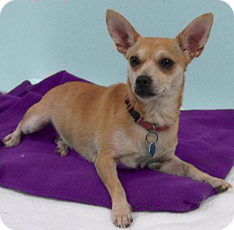 Chihuahua Dog for adoption in Hillsboro, Texas - Abby