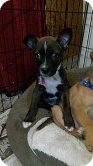 Terrier (Unknown Type, Medium)/Shepherd (Unknown Type) Mix Puppy for adoption in Clarkston, Michigan - Stella
