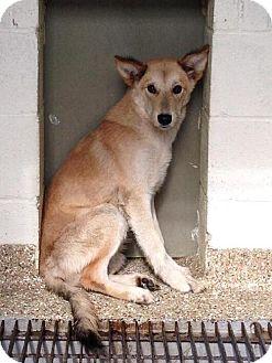 Shepherd (Unknown Type) Mix Dog for adoption in Tyner, North Carolina - Manley