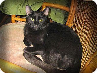 Domestic Shorthair Cat for adoption in Palm Springs, California - Gigi