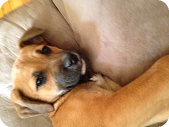 Boxer/Shepherd (Unknown Type) Mix Puppy for adoption in Homewood, Alabama - Harley