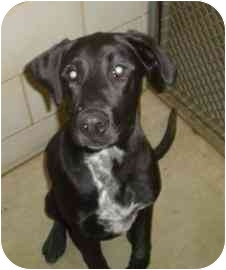 Labrador Retriever/Boxer Mix Dog for adoption in Walker, Michigan - Karra Rain