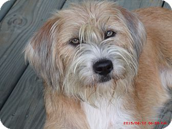 Wheaten Terrier/Terrier (Unknown Type, Medium) Mix Dog for adoption in Smithfield, North Carolina - Dixie