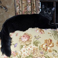 Domestic Mediumhair Cat for adoption in St. Charles, Illinois - Paddington