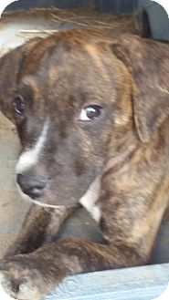 Plott Hound Mix Puppy for adoption in Kingsland, Texas - Outlaw