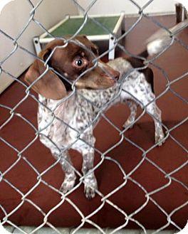Dachshund/Chihuahua Mix Dog for adoption in Newburgh, Indiana - Diesel
