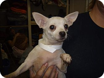 Chihuahua Mix Dog for adoption in Newburgh, Indiana - Biscuit
