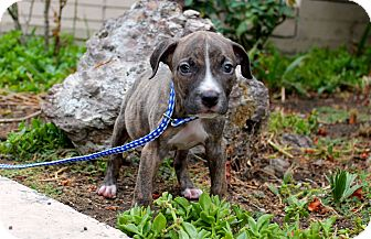 Pit Bull Terrier Mix Puppy for adoption in Los Angeles, California - Scrabble