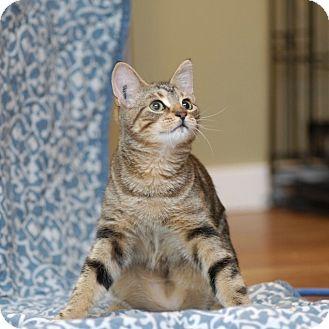 Domestic Shorthair Kitten for adoption in Duncan, British Columbia - Delilah